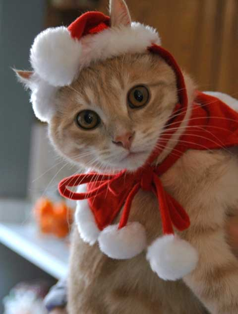 44 Kittens Christmas Outfits - 20 Christmas Costumes For Cats
