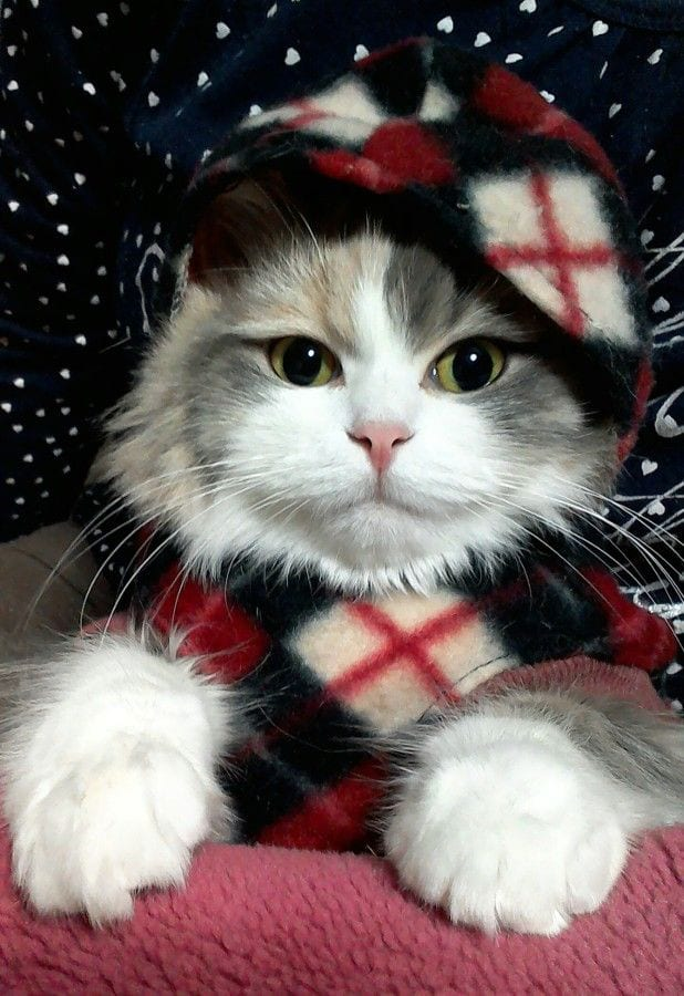 74 Kittens Christmas Outfits - 20 Christmas Costumes For Cats