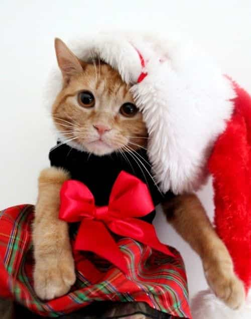 #2 – Cute Christmas Outfit For Kittens - Kittens Christmas Outfits - 20 Christmas Costumes For Cats